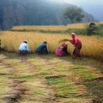 Paddy-Field_Rice_Dhanbali_C